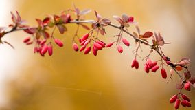 Bright barberry in the fall. Ornamental shrubs and berries stock image