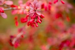 Bright barberry in the fall. Ornamental shrubs and berries stock photos