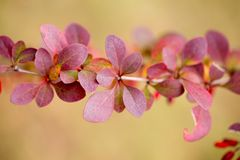 Bright barberry in the fall. Ornamental shrubs and berries stock photography