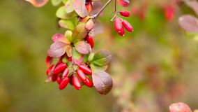 Bright barberry in the fall. Ornamental shrubs and berries royalty free stock image