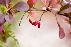 Bright barberry in the fall. Ornamental shrubs and berries stock photo