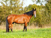 Bright bay horse grazes on the field. Bay horse grazes on the field stock photography