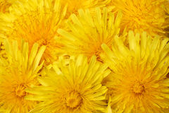 Bright beautiful background of yellow dandelions Royalty Free Stock Photography