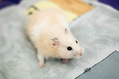 Sweety black-eyed hamster plays Stock Images