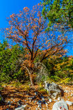 Bright Beautiful Fall Foliage on a Stunning Maple Tree Royalty Free Stock Photo