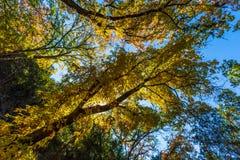 Bright Beautiful Fall Foliage on Stunning Maple Trees Royalty Free Stock Image