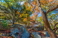 Bright Beautiful Fall Foliage on a Stunning Maple Trees in Texas Stock Photography