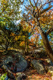 Bright Beautiful Fall Foliage on a Stunning Maple Trees in Texas Royalty Free Stock Image