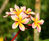 Bright beautiful flower plumeria Royalty Free Stock Photography