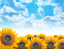 Bright Beautiful Flower Sunflower Background. A beautiful yellow sunflower field with bright blue clouds in the sky. Add your text to the copyspace. Use it for a Stock Image
