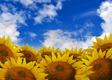 Bright Beautiful Flower Sunflower Background. A beautiful yellow sunflower field with bright blue clouds in the sky Stock Photo