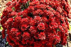 Bright beautiful flowering shrub with red flowers, flowers in the garden stock photo