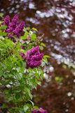 Purple lilac on a background of red Canadian maple with beautiful bokeh. Bright beautiful lilac. floral background. purple lilac. spring flowers. soft color and royalty free stock image