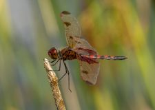 Calico Pennant dragonfly Royalty Free Stock Images