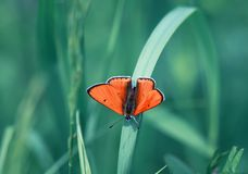 Bright beautiful orange butterfly sitting on the grass in shades. Beautiful orange butterfly sitting on the grass in shades of blue royalty free stock photo