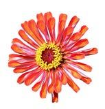 Bright beautiful orange zinnia flower isolated Stock Photo