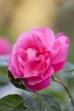 Bright beautiful pink rose Stock Photos