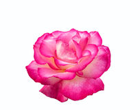 Bright beautiful  pink rose. Bright beautiful pink rose is on a white background Royalty Free Stock Photography