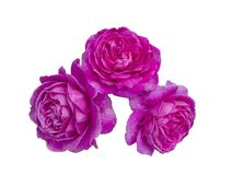 Bright beautiful  pink roses Royalty Free Stock Image