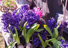 Hyacinths bloom royalty free stock images