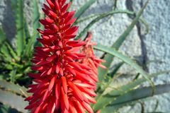 Bright beautiful red aloe flower Aloe Bellatula against a white wall in Nice Park. Useful medicinal plant. Succulents royalty free stock images