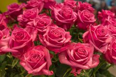 Bright beautiful red fresh roses stock photography