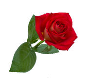 Bright beautiful red rose. Is on a white background Royalty Free Stock Photos