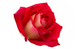 Bright beautiful red rose. Is on a white background Royalty Free Stock Photography