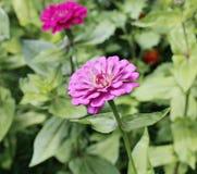 Bright beautiful red zinnia flower in the garden Stock Photo