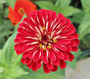 Bright beautiful red zinnia flower in the garden Royalty Free Stock Photos