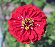 Bright beautiful red zinnia flower in the garden Stock Photography