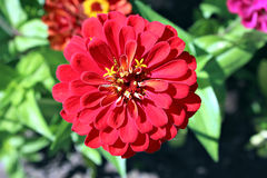 Bright beautiful red zinnia flower in the garden Royalty Free Stock Photography