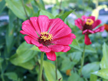 Bright beautiful red zinnia flower in the garden Royalty Free Stock Photo