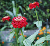 Bright beautiful red zinnia flower in the garden Stock Images