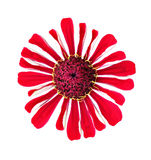 Bright beautiful red zinnia flower isolated Stock Images