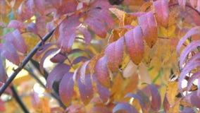 Bright beautiful Rowan trees. In autumn stock video footage