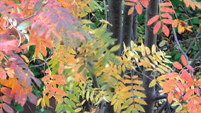 Bright beautiful Rowan trees. In autumn stock video