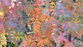 Bright beautiful Rowan trees. In autumn stock footage