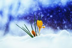 Bright beautiful spring flower snowdrop Crocus breaks through th. E snow a holiday on a brilliant background royalty free stock photos