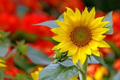 Bright and beautiful sunflower royalty free stock images
