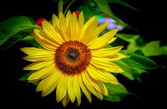 Beautiful tropical sunflower in full bloom stock photo