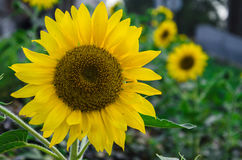 Bright and beautiful sunflowers in the garden. Big blooming sunflower in front of shot Stock Photography
