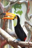 Bright beautiful toucan bird on a tree Stock Images