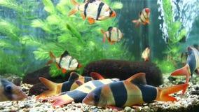 Bright beautiful tropical fish in the aquarium.  stock footage