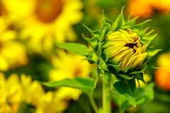 Bright and beautiful tropical flowering sunflower in spring garden royalty free stock image