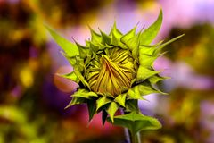 Cheerful sunflower bud in the sun royalty free stock photography