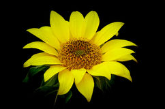 Bright and beautiful tropical sunflower royalty free stock photo