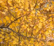 Bright beautiful yellow autumn leaves Royalty Free Stock Images