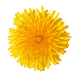 Bright beautiful yellow dandelion. Isolated on white background stock image