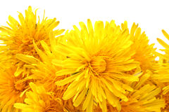 Bright beautiful yellow dandelions Stock Images